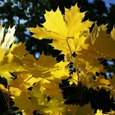 Top 5 of the most colourful & hardy Norway Maple (Acer platanoides) trees. Young & mature sizes available from specialist nursery with UK wide delivery.