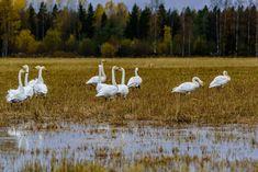Sääkuva: Joutsenet Lappeenrannassa Bird, Animals, Animales, Animaux, Birds, Animal, Animais, Dieren