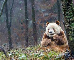 Voici Qizai, l'unique panda géant... marron, au monde