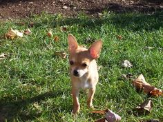Meet Pico! After his pet parents spent over $6,000 to fix problems with his knees, they decided to protect him from future problems with Petplan dog insurance. This past January, Pico needed to have dental surgery and a growth on his paw removed, and sure enough, Petplan was there to help with the bill! We're happy to report little Pico is back to being himself and enjoying life!