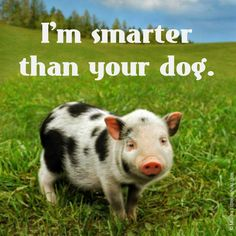Pigs are able to play video games, are smarter than dogs, & even more intelligent than a 3 year old child! Pigs are DEFINITELY friends NOT food. Learn more about how smart pigs are here: http://www.peta2.com/blog/top_ten_fascinating_facts_about_pigs/
