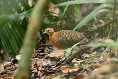 Rusty Tinamou Crypturellus brevirostris - Google Search