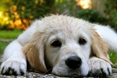 Golden retriever puppy by phoebe_rousseaux