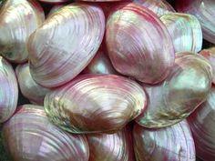 """magickandcrack: """" Pink Cabibe Mussel Sea Shells """""""