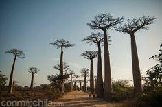El comienzo de la avenida del baobab