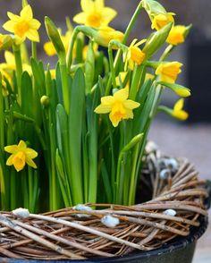 Hyvää huomenta! Kevään helpoin pääsiäisistutus Marian hyötytarhassa, Viherpeukalot blogissa. 🌼☀️🌼Good morning! #newblogpost #marianhyötytarhassa #viherpeukalotblogi #viherpeukalot #narsissi #tetenarsissi #pääsiäinen #kevät #kevätkukat #kukat #spring #springflowers #flowerpower #easter #narcissus #nordicgardenbloggers #blommor #vår #vårblommor #påsk @viherpeukalot.fi Vintage Easter, Celery, Flower Power, Watercolor Art, Herbs, Seasons, Vegetables, Spring, Flowers