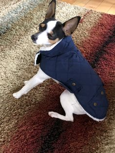 Toy Fox Terriers, Boston Terrier, Dogs, Animals, Animais, Animales, Animaux, Pet Dogs, Boston Terriers