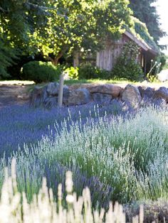 As fragrant as it is colorful, lavender is a wonderful addition to any sunny garden or container. Use this guide to choose the best type for your conditions.