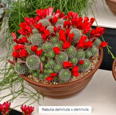 Photo of Crimson Crown Cactus (Rebutia deminuta). Photo Location: Chelsea Flower Show. on Caption: Lovely in bloom. Cacti And Succulents, Planting Succulents, Cactus Plants, Garden Plants, Planting Flowers, Exotic Plants, Exotic Flowers, Amazing Flowers, Small Cactus