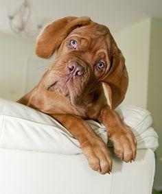Inquisitive Dogue De Bordeaux