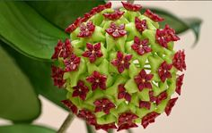 Hoya Cinnamomifolia is a vine that comes from the Island of Java.