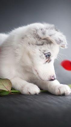 white puppy, aussie, cute little dog, Australian Shepherd, roses, pets, dogs Australian Shepherd Husky, Mini Australian Shepherds, Cute Little Dogs, Cute Dogs, White Puppies, Dogs And Puppies, Cute Baby Animals, Animals And Pets, White Border Collie