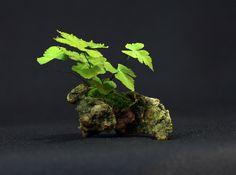 Avenca (Adiantum macrophylla) Height: 2.95 in, 7.5 cm  Pot: Rock  Categories: Companion