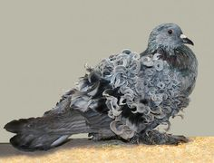 Frillback pigeon has curly feathers.