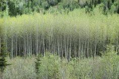 aspen poplar trees - Google Search