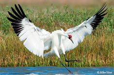 Whooping Cranes are endangered due to habitat encroachment and hunting. The story of work towards their recovery is a fascinating one. Photo by Mike Sloat.