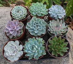 """6"""" Echeverias Succulent bulk wholesale succulent prices at the succulent source - 1"""