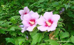 parquealamillo-encinarosa: Hibiscus syriacus / Rosa de Siria / Altea - en el ...