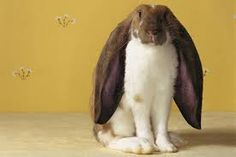 Learn about the different kinds of lop-eared rabbits, which one might be the best one for you, and their special care requirements. English Lop Rabbit, French Lop Rabbit, Lop Eared Bunny, Lop Bunnies, Bunny Bunny, Beautiful Chickens, Animals Beautiful, Types Of Bunnies, Rabbit Facts