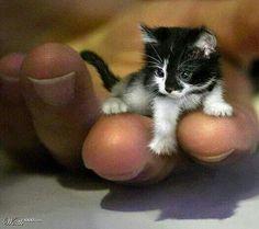 Dünyanın en küçük kedisiymiş,2 yaşındaymış.