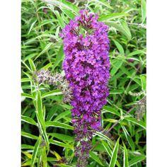 Buddleia davidii 'Nanho purple'