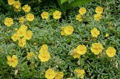 Helianthemum 'Wisley Primrose' About this cultivar: Helianthemum 'Wisley Primrose' is a reci Yellow Perennials, Flowers Perennials, Planting Flowers, Mediterranean Plants, Seaside Garden, Rock Rose, Short Plants, Rose Family, Ornamental Plants