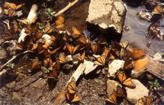 Monarch's fly over the Great Lakes and stop for a break before continuing south to Mexico.