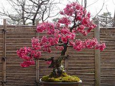 Japanese cherry blossom bonsai