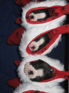 Christmas Bostons....the BEST stocking stuffer ever!.....I would cry, seriously!