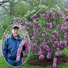 Lilac Sunday Lilac gr8day4livin