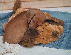 doxie puppy cuddled up with a friend dachshund cute Dachshund Funny, Puppy Cuddles, Weenie Dogs, Dachshund Puppies, Dachshund Love, Cute Puppies, Cute Dogs, Doggies, Daschund