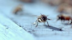 Dance of the Honey Bee by AbelCine. A Miro Challenge final film from Peter Nelson