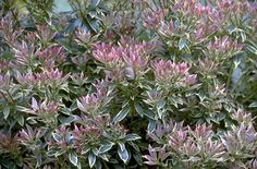 Pieris japonica 'Little Heath' (v). Full sun/ part shade. Loam or sand. Well drained/ Moist but well drained. Max height and spread: Backyard Plants, Landscaping Plants, Garden Plants, Flowering Plants, Indoor Plants, Pieris Japonica, Rhs Hampton Court, Small Shrubs, Planting Plan