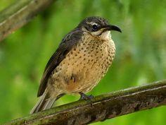 Riflebird,_Victoria's_juvenile_DavidCook.jpg (1023×768)