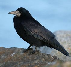 Rook Bird | Similar Species : Jackdaw, Chough, Hooded Crow, Carrion Crow, Raven