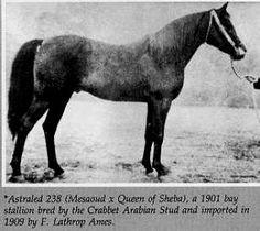 Astraled 1900 b. s. Messaoud x Queen of Sheba by A Muniqi Hudruji