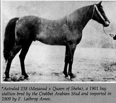Astraled 1900 b. s. Messaoud x Queen of Sheba by A Muniqi Hudruji