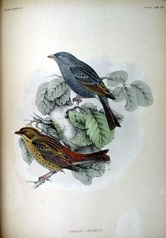 Grey Buntings, from Fauna Japonica, Illustrations of the birds observed in Japan by Dutch travelers, Philipp Franz von Siebold, 1842.