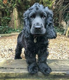 """See our site for even more relevant information on """"spaniel dogs"""". It is an excellent spot to find out more. Cocker Spaniel Negro, Black Cocker Spaniel Puppies, Spaniel Breeds, Dog Breeds, Boykin Spaniel, Beautiful Dogs, Animals Beautiful, Cute Dogs And Puppies, Doggies"""