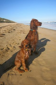 Irish Setters, when I grow up....Sarah Hess. Ruby and Rusty