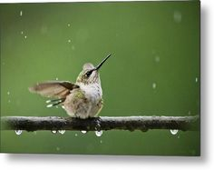 Hummingbird In The Rain Metal Print by Christina Rollo.  All metal prints are professionally printed, packaged, and shipped within 3 - 4 business days and delivered ready-to-hang on your wall. Choose from multiple sizes and mounting options.