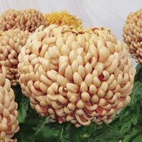 Chrysanthemum 'Clarksdale' (Early)