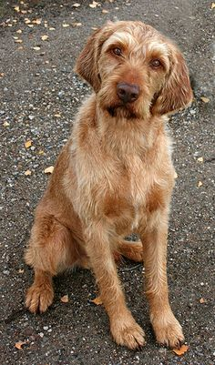 wirehaired vizsla; I know I'm not the cutest but I will love you no matter what you look like.