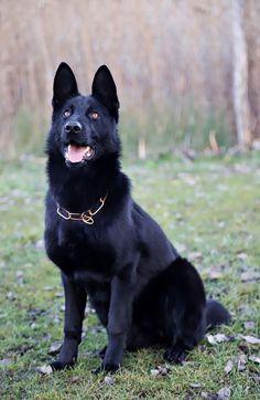 German Shepherd Dogs that protect you #germanshepherd