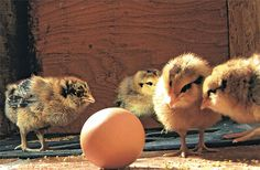 Chicks and an Egg: give us your best caption! http://birdsandbloomsblog.com/2012/06/01/you-dont-say-chicks-and-an-egg/#