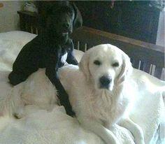 White Golden Retriever and Black Lab are buddies.