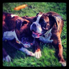 Our boxer Athos with his friend Alma a few years ago.
