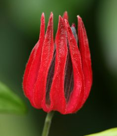 Brazilian Candles: Pavonia multiflora (Pavonia x gledhillii) -Family: Malvaceae Unusual Flowers, Amazing Flowers, Red Flowers, Plant Guide, Tropical, Planting Flowers, Flowering Plants, Beautiful World, Garden Landscaping