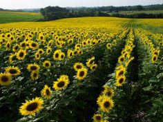 Un champ de tournesols - sunflower fields in SW France