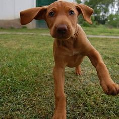 Check out these funny animals on The Pet Community! Vizsla Puppies, Kittens And Puppies, Puppy Pictures, Funny Animals, Funny Pets, Kittens Cutest, Cat Day, Cats Of Instagram, Cat Lovers